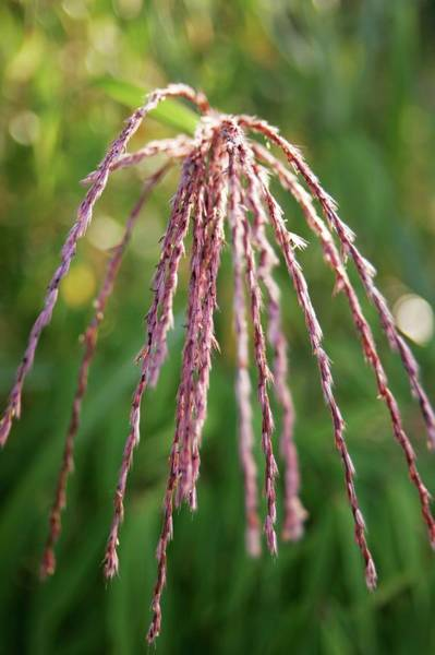 Ornamental Grass Photograph - Miscanthus 'flamingo' by Stephen Harley-sloman/science Photo Library