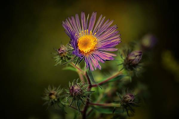 Photograph - Miss Aster by Beth Akerman