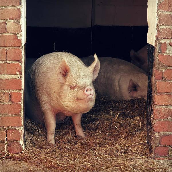 Pigpens Photograph - Miss Piggy by Blackcatphotos