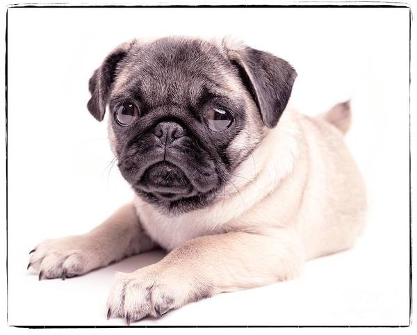 Pug Photograph - Miss You by Edward Fielding