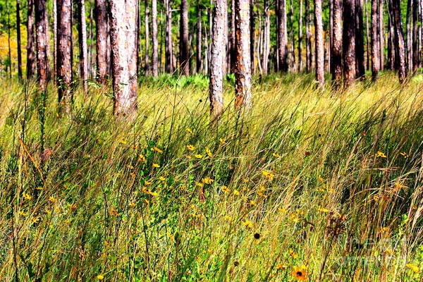 Photograph - Mississippi Pine Woods by Carol Groenen