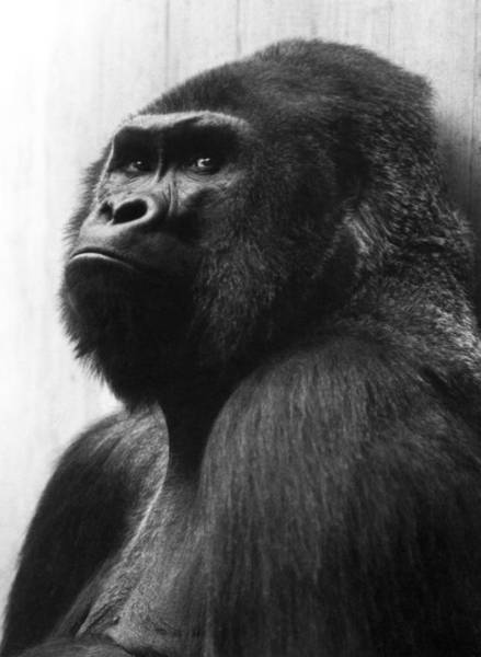 Photograph - Mister Gorilla by Dragan Kudjerski