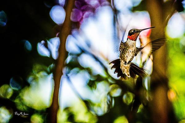 Photograph - Hummingbird - Mister Ruby-throat by Barry Jones