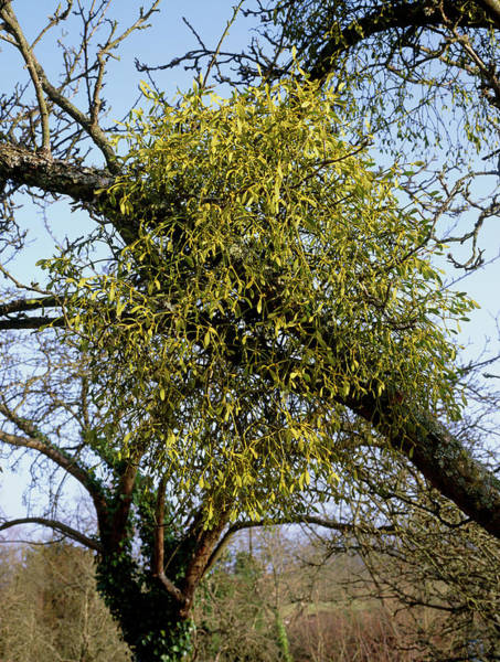 Horticulture Photograph - Mistletoe by Geoff Kidd/science Photo Library