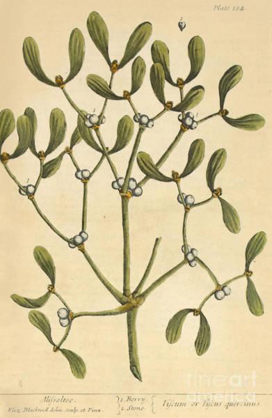 Photograph - Mistletoe Medicinal Plant 1737 by Science Source
