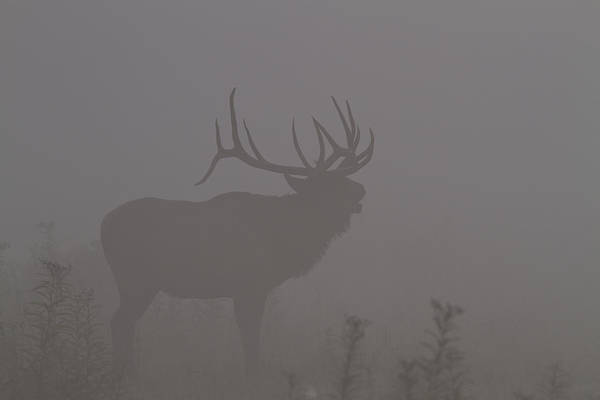 Photograph - Misty Morning Bull Elk by Doug McPherson