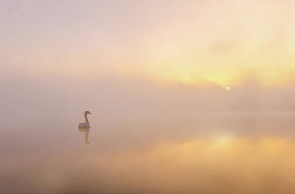 Swan Photograph - Misty Morning by Katarzyna Gritzmann