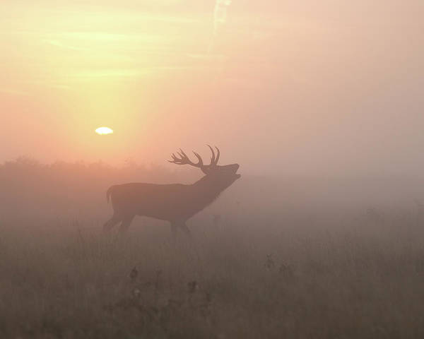 Red Deer Photograph - Misty Morning Stag by Greg Morgan