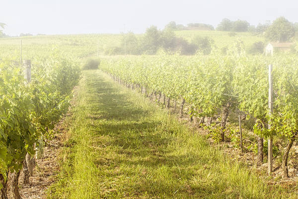 Photograph - Misty Morning Vineyard by Georgia Fowler