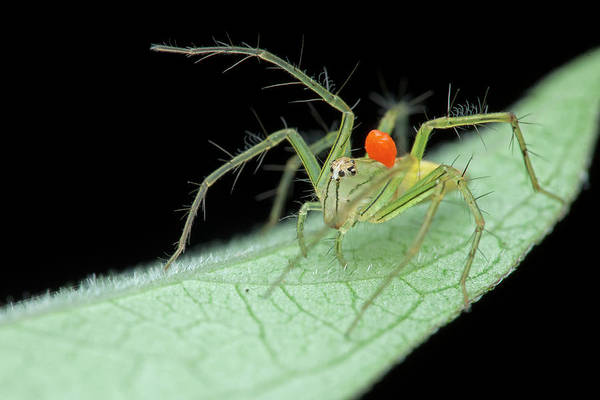 Wall Art - Photograph - Mite On Lynx Spider by Melvyn Yeo/science Photo Library