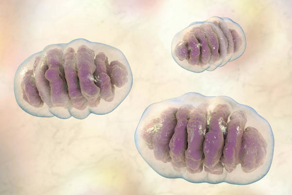 3d Visualization Photograph - Mitochondria by Kateryna Kon/science Photo Library