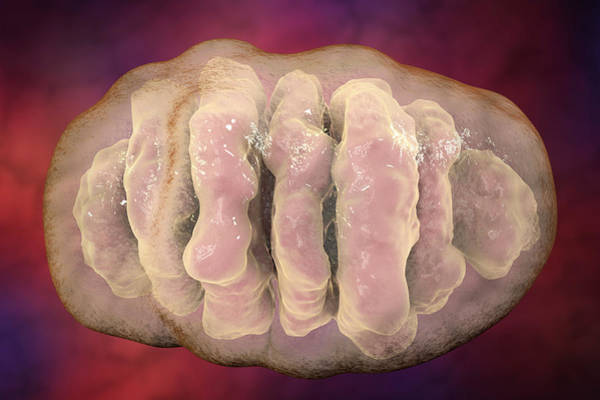 3d Visualization Photograph - Mitochondrion by Kateryna Kon/science Photo Library