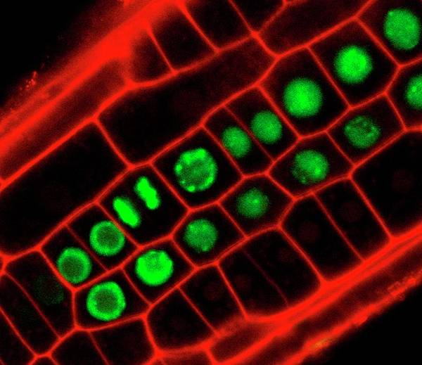 Er Photograph - Mitosis In Plant Root by Dr John Runions/science Photo Library