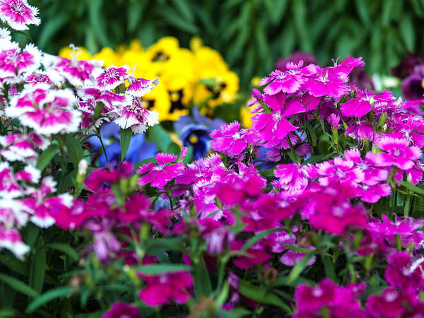 Photograph - Mixed Blooms-1 by Charles Hite