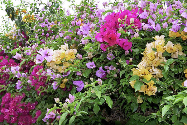 Wall Art - Photograph - Mixed Bougainvillea Flowers by Brian Gadsby/science Photo Library