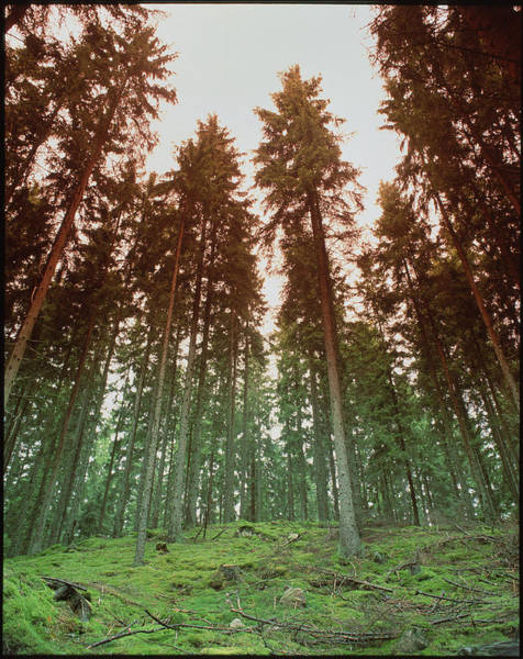 Conifer Photograph - Mixed Conifer Forest by Martin Bond/science Photo Library