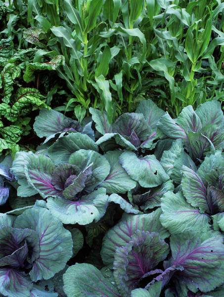 Vegetable Patch Wall Art - Photograph - Mixed Crops by Geoff Kidd/science Photo Library
