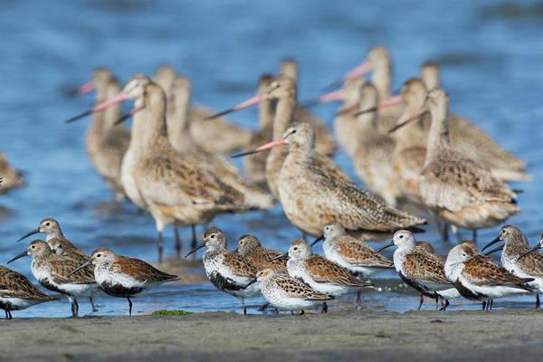 Ken Photograph - Mixed Flock Of Shorebirds by Ken Archer