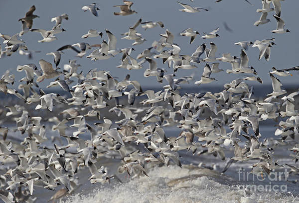 Chroicocephalus Ridibundus Photograph - Mixed Gull Flock by Neil Bowman FLPA