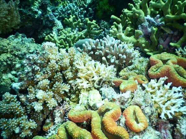 Wall Art - Photograph - Mixed Hard Corals by Carleton Ray