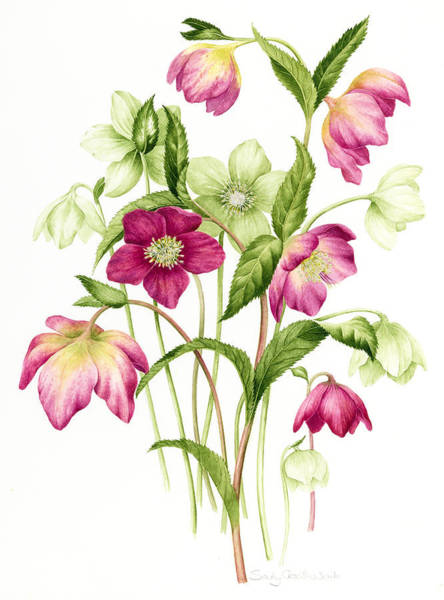 Maroon Painting - Mixed Hellebores by Sally Crosthwaite