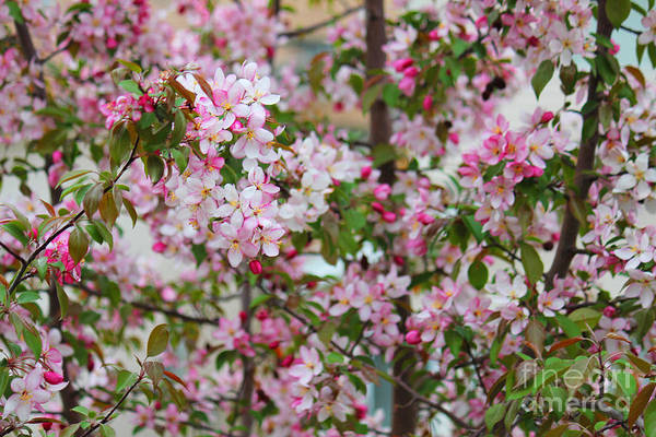 Photograph - Mixed Pinks Crabapple by Donna L Munro