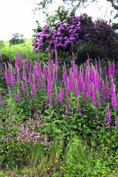Purpurea Photograph - Mixed Summer Border by Brian Gadsby/science Photo Library