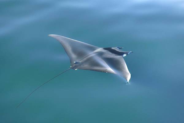 Japonica Photograph - Mobula Ray by Christopher Swann/science Photo Library