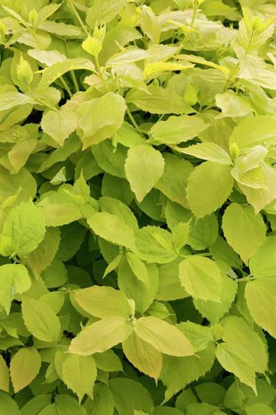 Early Spring Photograph - Mock Orange Foliage. by Geoff Kidd/science Photo Library