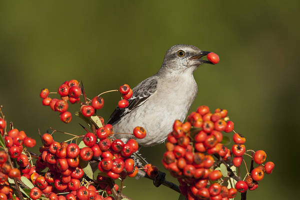 Photograph - Mockingbird In Berries by D Robert FranzNorthern