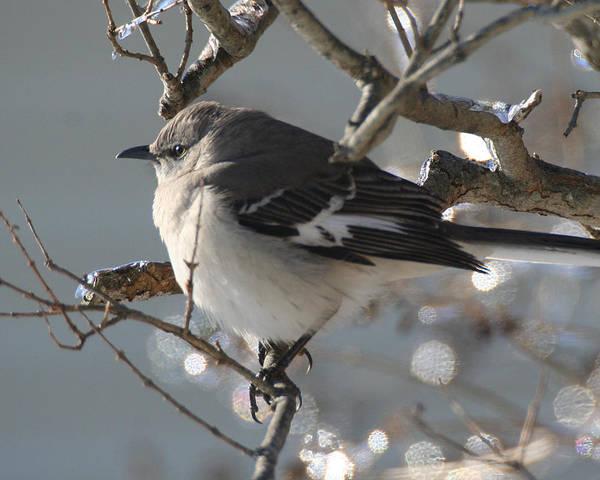 Mockingbird In Winter Art Print