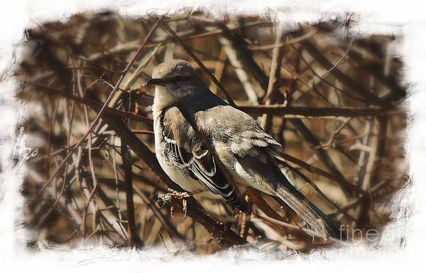 Duck Meat Photograph - Mockingbird by Marcia Lee Jones