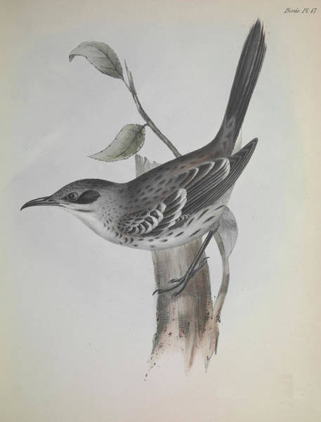 Mockingbird Photograph - Mockingbird by Natural History Museum, London/science Photo Library