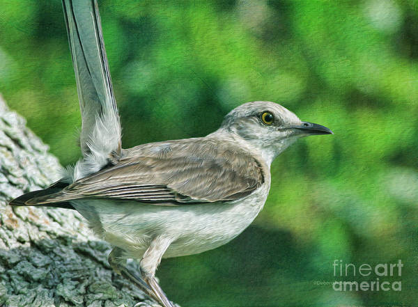 Photograph - Mockingbird Pose by Deborah Benoit
