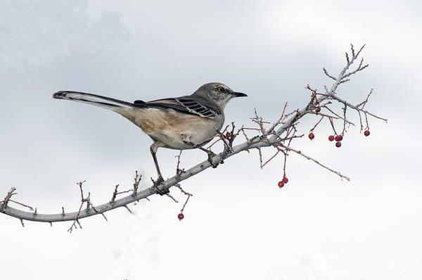 Photograph - Mockingbird by Tam Ryan