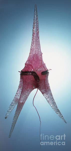 Photograph - Model Of Ceratium Dinoflagellate by Geoff Brightling and Peter Minister and Dorling Kindersley