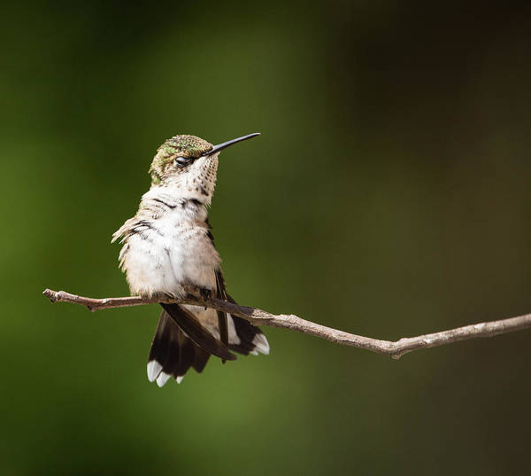 Bird Strike Wall Art - Photograph - Model Pose By Ruby-throated Hummingbird by Christy Cox