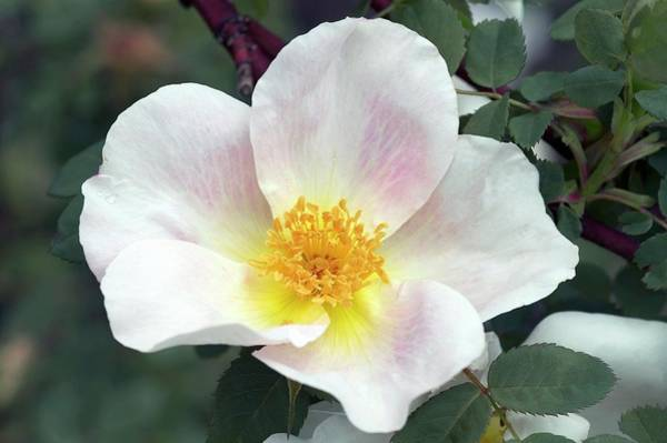 Rose In Bloom Photograph - Modern Shrub Rose (nevada) by Brian Gadsby/science Photo Library