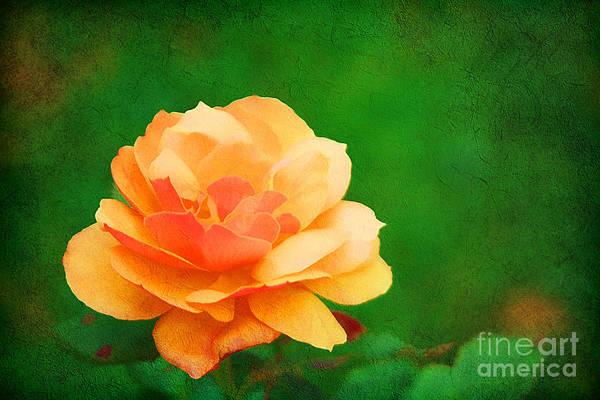 Peachy Wall Art - Photograph - Modest by Darren Fisher
