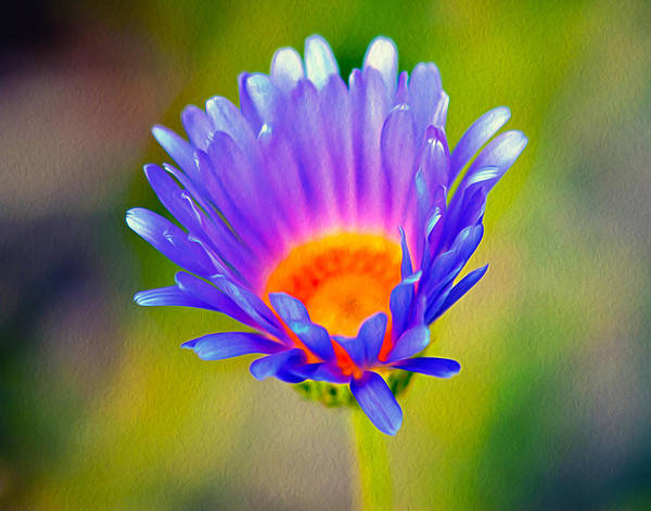 Wall Art - Photograph - Mojave Aster by Joe Schofield