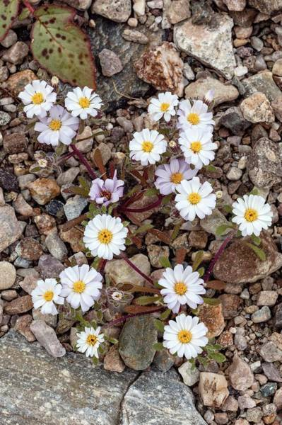 Death Valley Photograph - Mojave Desertstar In Flower by Bob Gibbons/science Photo Library