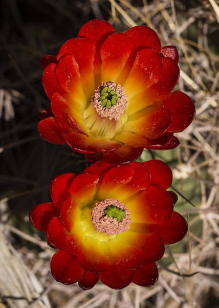 Photograph - Mojave Mound Cactus 2 by Lee Kirchhevel
