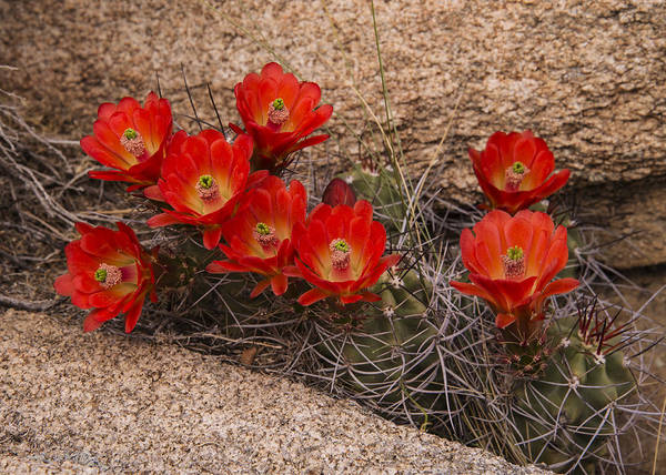 Photograph - Mojave Mound Cactus 3 by Lee Kirchhevel