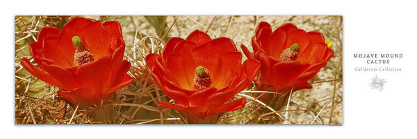 Photograph - Mojave Mound Cactus Art Poster - California Collection by Ben and Raisa Gertsberg