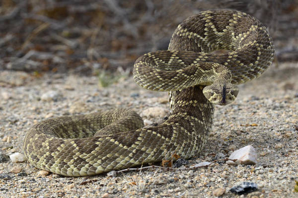 Mojave Photograph - Mojave Green Rattlesnake Ready And Willing by Bob Christopher