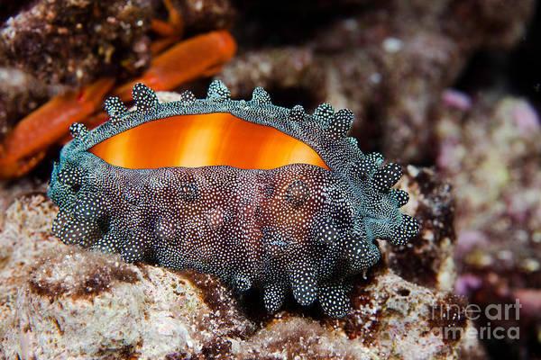 Cypraeidae Wall Art - Photograph - Mole Cowry by David Fleetham