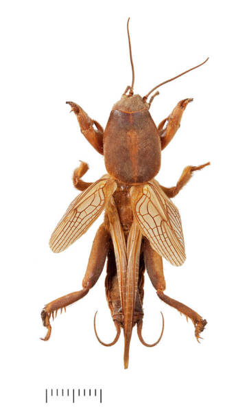 Pests Photograph - Mole Cricket by Natural History Museum, London