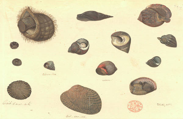 Rosaceae Wall Art - Photograph - Molluscs by Natural History Museum, London
