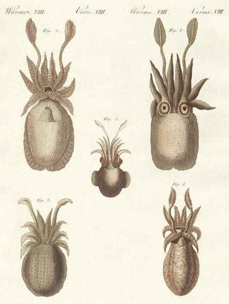Molluscs Wall Art - Drawing - Molluscs Or Soft Worms by German School