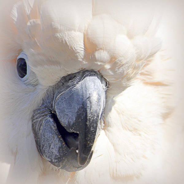 Photograph - Moluccan Close Up by AJ  Schibig